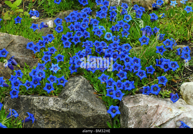 gentiana acaulis blue gentian flowers stockfotos gentiana acaulis blue gentian flowers bilder. Black Bedroom Furniture Sets. Home Design Ideas