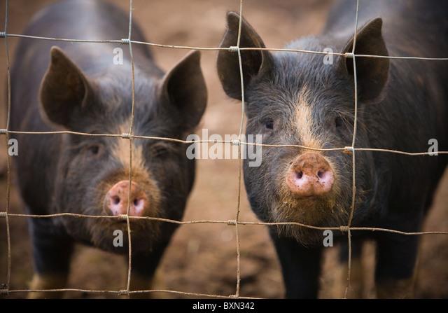 Ziemlich Schwein Drahtzaun Galerie - Die Besten Elektrischen ...