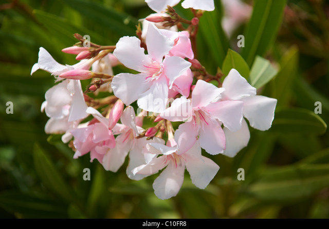 oleander bush stockfotos oleander bush bilder alamy. Black Bedroom Furniture Sets. Home Design Ideas
