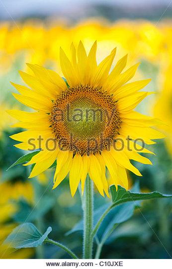 sunflower stockfotos sunflower bilder alamy. Black Bedroom Furniture Sets. Home Design Ideas