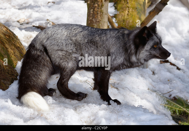 a silver phase red fox stockfotos a silver phase red fox bilder alamy. Black Bedroom Furniture Sets. Home Design Ideas