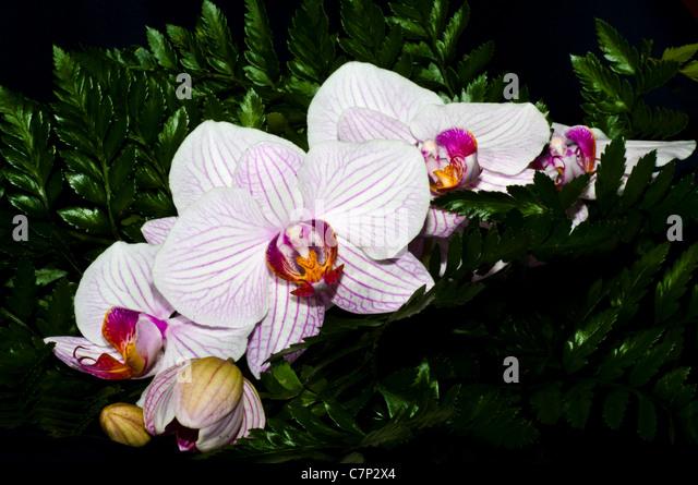 orchidea phalaenopsis stockfotos orchidea phalaenopsis. Black Bedroom Furniture Sets. Home Design Ideas