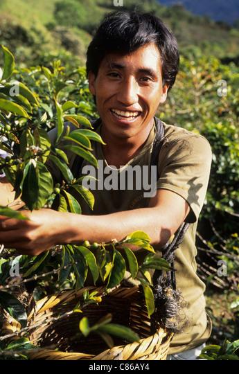coffee farm peru stockfotos coffee farm peru bilder alamy. Black Bedroom Furniture Sets. Home Design Ideas