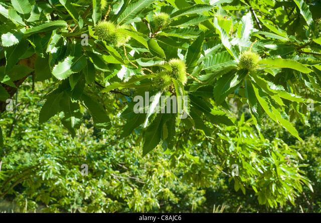 Chestnuts stockfotos chestnuts bilder alamy - Baum auf spanisch ...