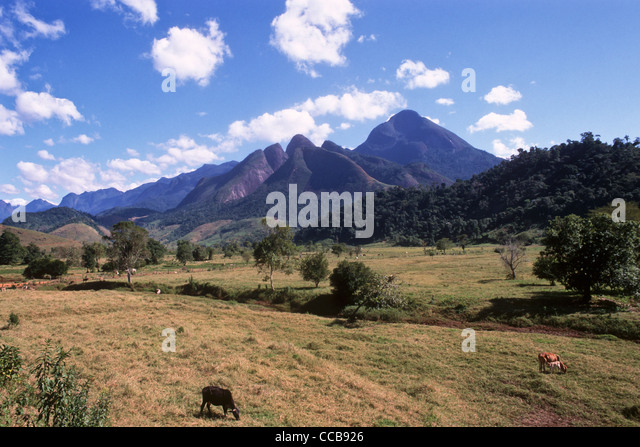 cattle brazil rainforest stockfotos cattle brazil rainforest bilder alamy. Black Bedroom Furniture Sets. Home Design Ideas