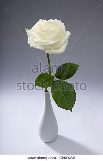 weisse rose stockfotos weisse rose bilder alamy. Black Bedroom Furniture Sets. Home Design Ideas