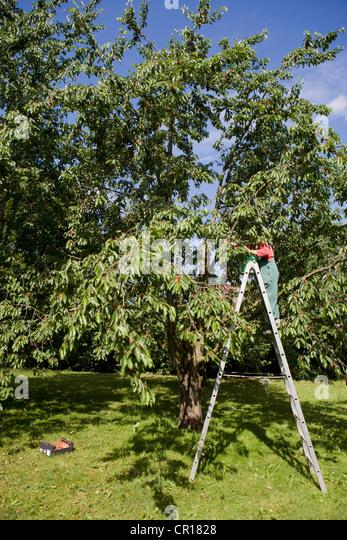 apple harvest ladder stockfotos apple harvest ladder bilder alamy. Black Bedroom Furniture Sets. Home Design Ideas