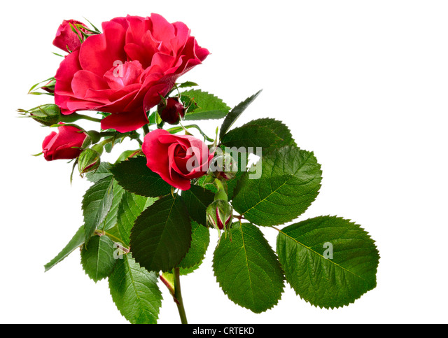 white climbing rose stockfotos white climbing rose bilder alamy. Black Bedroom Furniture Sets. Home Design Ideas
