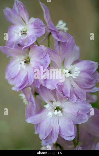 delphinium cultivar stockfotos delphinium cultivar bilder alamy. Black Bedroom Furniture Sets. Home Design Ideas