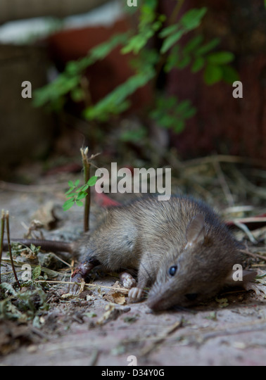 rat poison stockfotos rat poison bilder alamy. Black Bedroom Furniture Sets. Home Design Ideas