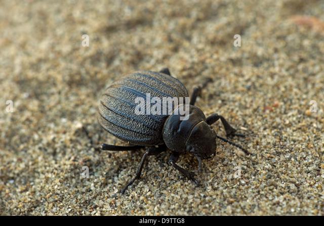 tenebrionidae stockfotos tenebrionidae bilder alamy. Black Bedroom Furniture Sets. Home Design Ideas
