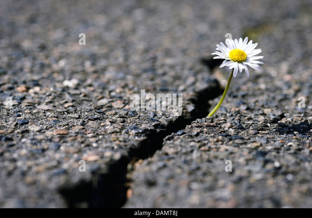 flower growing through asphalt surface stockfotos flower growing through asphalt surface. Black Bedroom Furniture Sets. Home Design Ideas