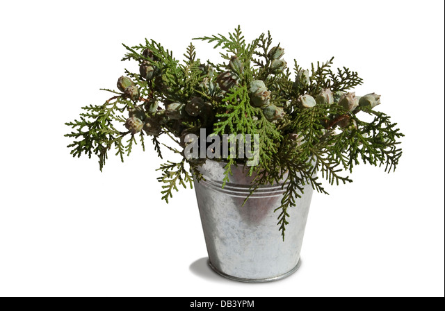 cupressaceae cupressus sempervirens stockfotos. Black Bedroom Furniture Sets. Home Design Ideas
