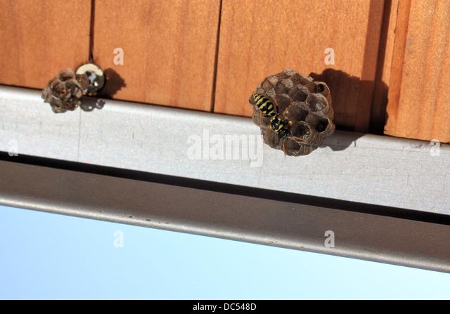 feldwespen stockfotos feldwespen bilder alamy. Black Bedroom Furniture Sets. Home Design Ideas