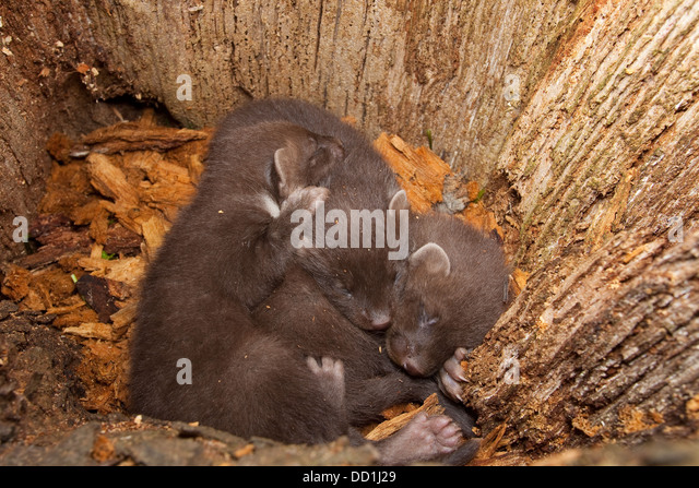 european pine marten baummarder baum marder stockfotos european pine marten baummarder baum. Black Bedroom Furniture Sets. Home Design Ideas