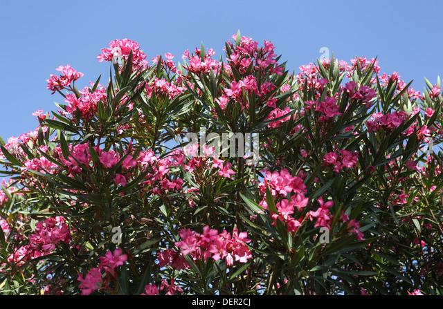 oleander bush stockfotos oleander bush bilder alamy. Black Bedroom Furniture Sets. Home Design Ideas