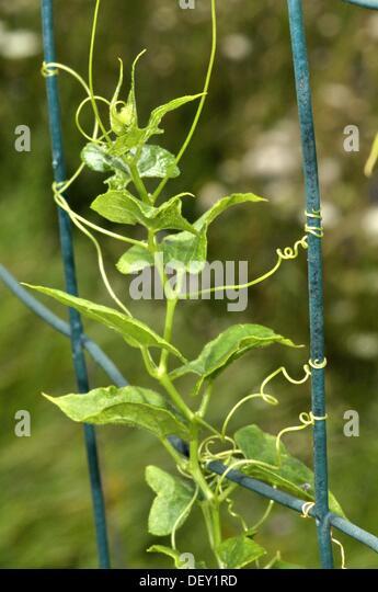plant climbing stem bryonia dioica stockfotos plant. Black Bedroom Furniture Sets. Home Design Ideas