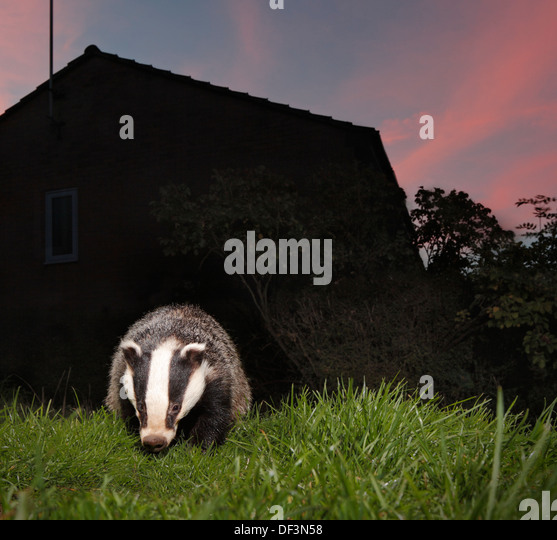 badger night garden stockfotos badger night garden bilder alamy. Black Bedroom Furniture Sets. Home Design Ideas