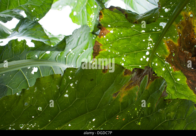 leaves holes close up stockfotos leaves holes close up bilder alamy. Black Bedroom Furniture Sets. Home Design Ideas