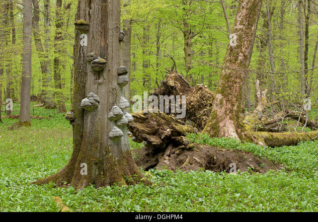 fungus growing in wood stockfotos fungus growing in wood bilder alamy. Black Bedroom Furniture Sets. Home Design Ideas