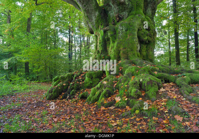 old thick trees stockfotos old thick trees bilder alamy. Black Bedroom Furniture Sets. Home Design Ideas