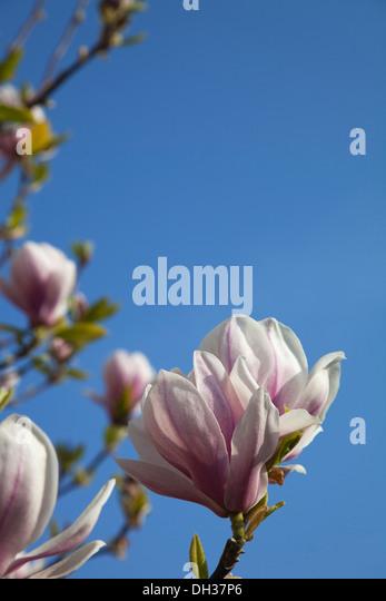 Bush Pink Flowers Against Blue Stockfotos & Bush Pink Flowers ...
