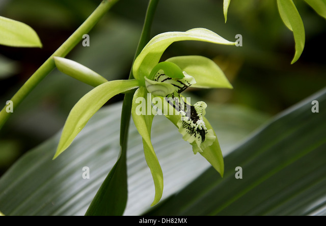 coelogyne orchid stockfotos coelogyne orchid bilder alamy. Black Bedroom Furniture Sets. Home Design Ideas