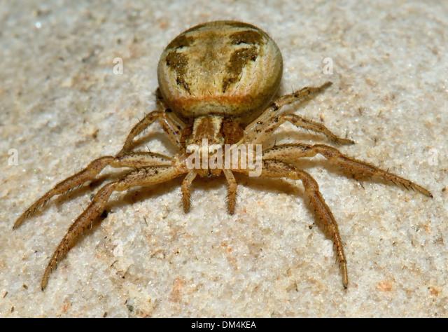 crab spider xysticus cristatus stockfotos crab spider xysticus cristatus bilder alamy. Black Bedroom Furniture Sets. Home Design Ideas