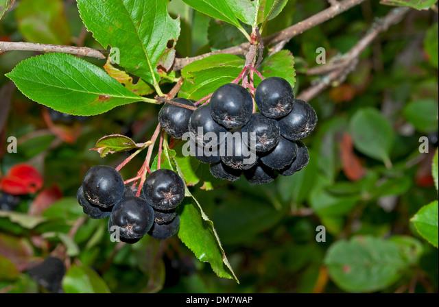 rowan berry shrub stockfotos rowan berry shrub bilder. Black Bedroom Furniture Sets. Home Design Ideas