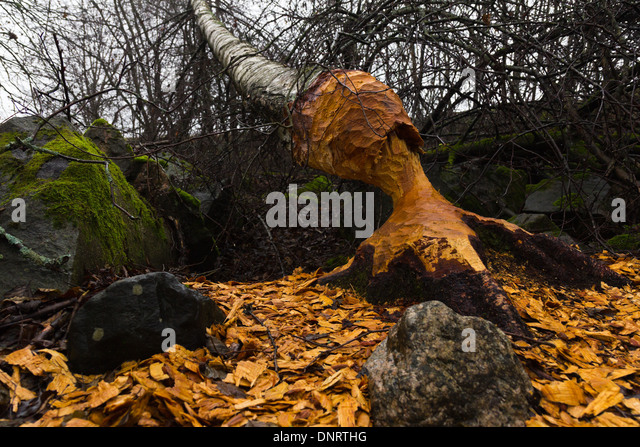 beaver damage stockfotos beaver damage bilder alamy. Black Bedroom Furniture Sets. Home Design Ideas