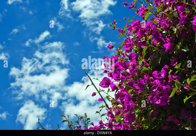 bougainvillea stockfotos bougainvillea bilder alamy. Black Bedroom Furniture Sets. Home Design Ideas