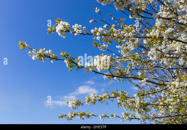 blue sky blossom tree branches stockfotos blue sky. Black Bedroom Furniture Sets. Home Design Ideas