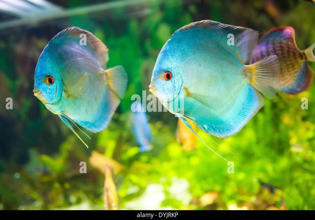 Blue discus fish stockfotos blue discus fish bilder alamy - Aquarium hintergrund ausdrucken ...