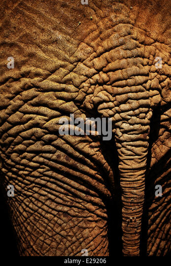african elephant skin detail and tail stockfotos african. Black Bedroom Furniture Sets. Home Design Ideas