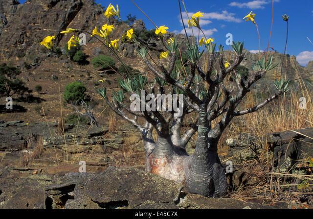 flower isalo national park madagascar stockfotos flower isalo national park madagascar bilder. Black Bedroom Furniture Sets. Home Design Ideas