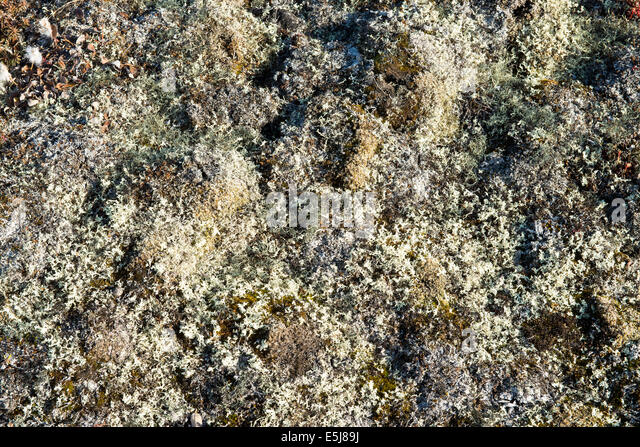 tundra plants stockfotos tundra plants bilder alamy. Black Bedroom Furniture Sets. Home Design Ideas