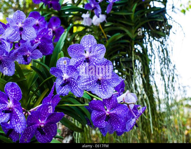 orchids vanda stockfotos orchids vanda bilder seite 3. Black Bedroom Furniture Sets. Home Design Ideas