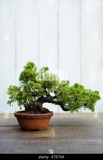 bonsai juniperus chinensis stockfotos bonsai juniperus. Black Bedroom Furniture Sets. Home Design Ideas