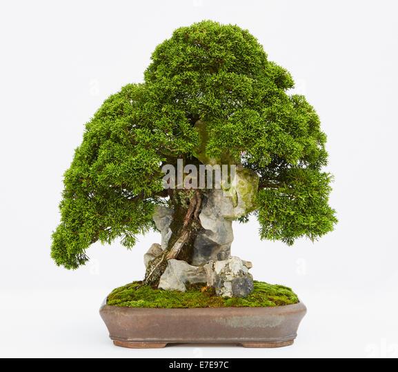 bonsai juniperus chinensis stockfotos bonsai juniperus chinensis bilder alamy. Black Bedroom Furniture Sets. Home Design Ideas