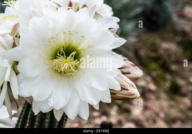 Cactus costa stockfotos cactus costa bilder alamy for Konigin der nacht kaktus