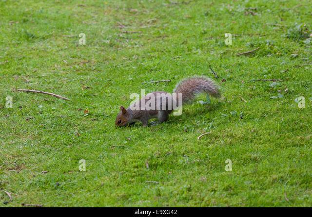 squirrel burying nuts stockfotos squirrel burying nuts. Black Bedroom Furniture Sets. Home Design Ideas
