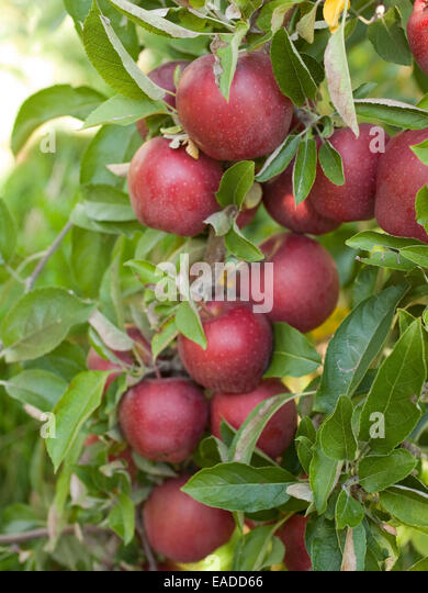 apple tree stockfotos apple tree bilder alamy. Black Bedroom Furniture Sets. Home Design Ideas