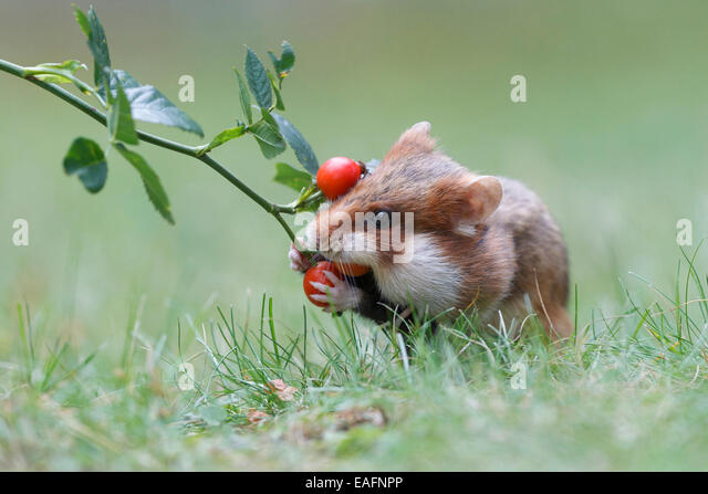 common hamster feeding cricetus cricetus stockfotos common hamster feeding cricetus cricetus. Black Bedroom Furniture Sets. Home Design Ideas