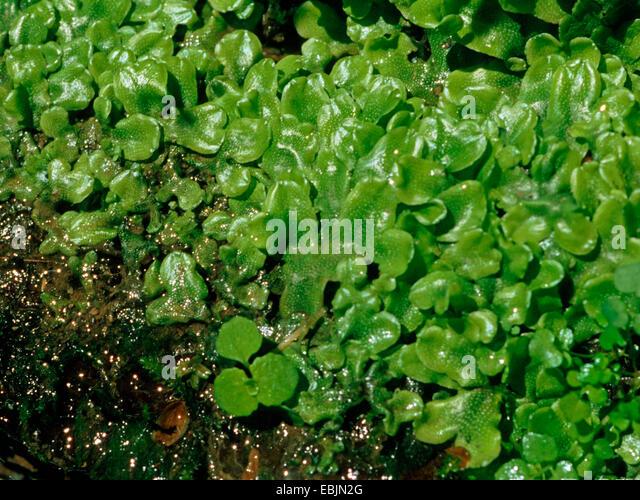 Moss mosses liverwort stockfotos moss mosses liverwort for Boden deutschland