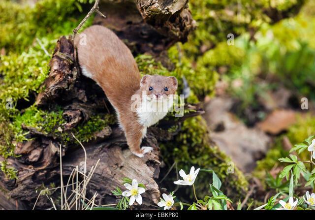 Mustelidae stockfotos mustelidae bilder alamy for Boden deutschland