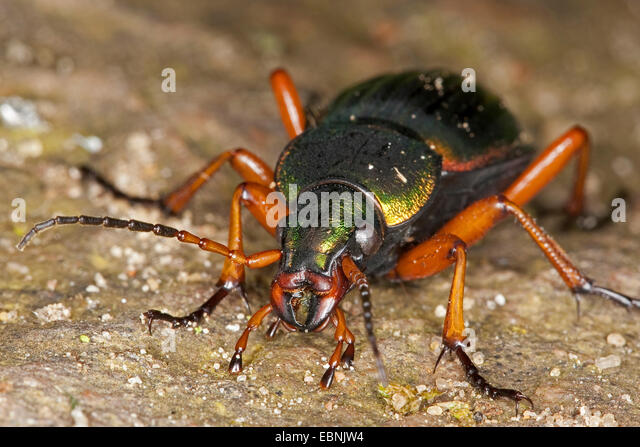 Head of ground beetle stockfotos head of ground beetle for Boden deutschland