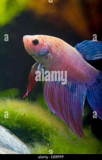 Betta male stockfotos betta male bilder alamy for Aquarium hintergrund ausdrucken