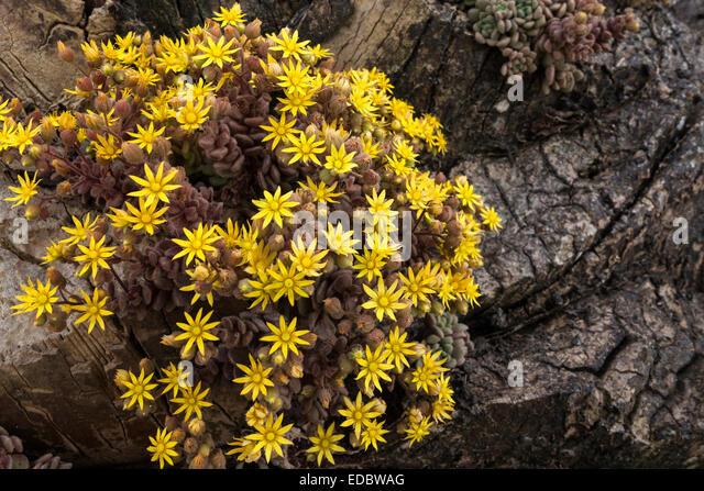 crassulaceae stockfotos crassulaceae bilder alamy. Black Bedroom Furniture Sets. Home Design Ideas