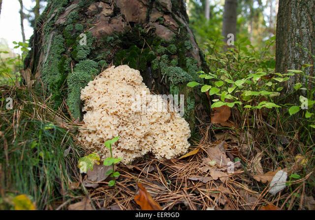 cauliflower mushroom sparassis crispa stockfotos. Black Bedroom Furniture Sets. Home Design Ideas