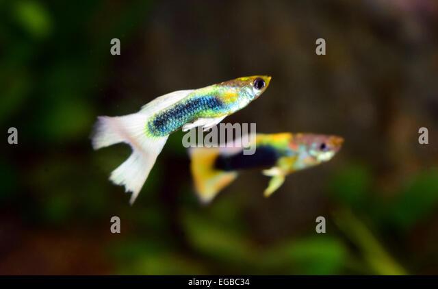 Guppies swimming stockfotos guppies swimming bilder alamy for Aquarium fische im teich